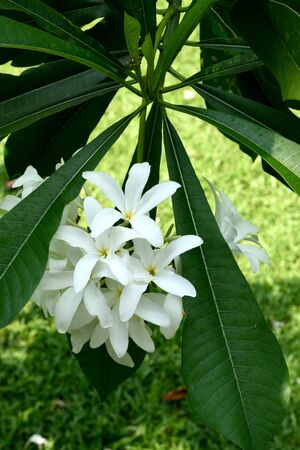 flowering plant: The sweet smelling flowering plant that need to be regularly trimmed.