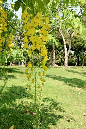 pungent: The pendulous racemes of Cassia flowers with yellow petas and pungent odor.