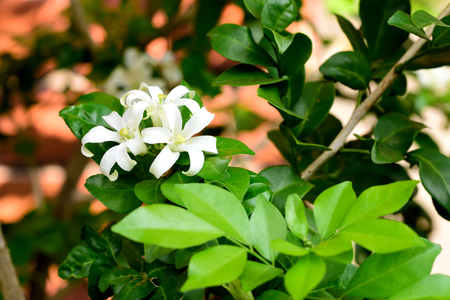 The ornamental trees with small white scented flowers petals the ornamental trees with small white scented flowers petals are 12 18 mightylinksfo
