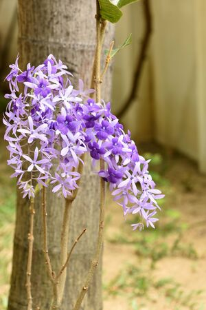 petrea: The beautiful climber with star - like flowers . The true flower is deep purple velvet on the calices .