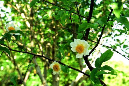 rape: Las flores blancas con los centros amarillos debido a los estambres.