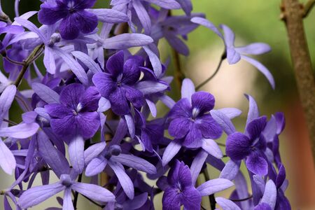 petrea: The beautiful climber with star - like flowers . The true flower is deep purple velvet on the calices .The calices will remain after the five - petalled true flower have fallen. Stock Photo