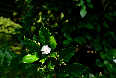 The evergreen flowering plant with shiny green leaves and fragrant white flowers.