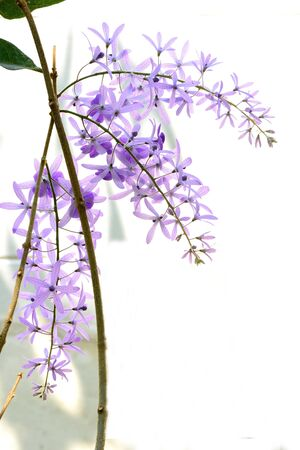stiff: The flowering plants that have delicate purple flowers but stiff and papery leaves.
