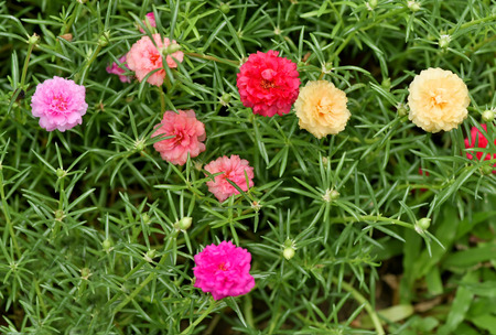 vividly: Moss Rose produces vividly colored blooms , in shade of yellow , orange , red , and pink. Stock Photo