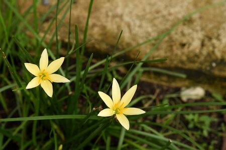 ornamentals: The yellow flowers of rain lilies with six petals and sweet , pleasant fragrance.
