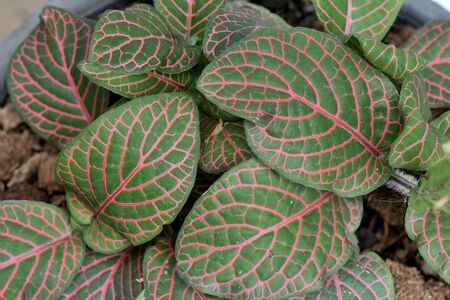 groundcover: The tropical plant with deep - green leaves and vein pattern of red color.