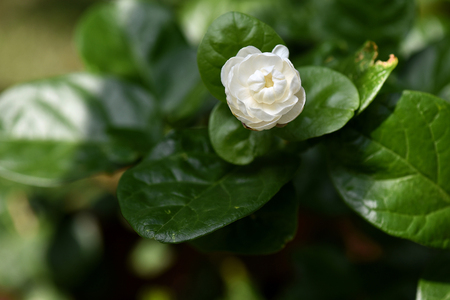tropical shrub: The full bloom of jasmine flower with characteristic fragrance. Stock Photo