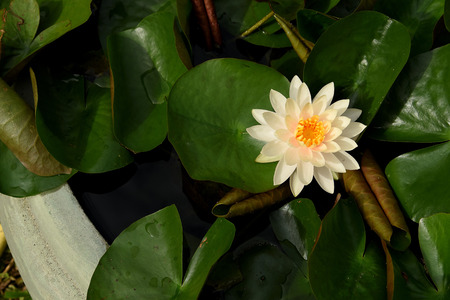 A yellow , solitary flower of water lily raised above the surface of the water. Stock Photo