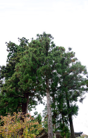 black pine: Japanese black  pine trees stand reaching to the sky over  an ancient shrine .