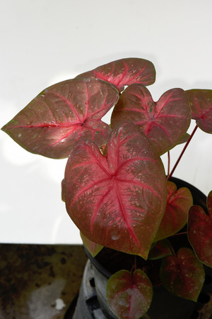 ornamental plant: An ornamental plant that has arrowhead - shaped leaves marked in patterns in red and can grow to about 60 cm. high. Stock Photo