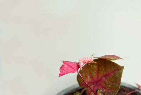 voracious: A red caterpillar is chewing caladium leaves and  cryptically colored resembling the plant.