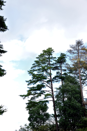 black pine: Japanese black  pine trees  that can reach the height of 40 meters with needles in fascicles and reproductive cones. Stock Photo