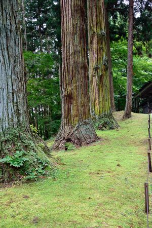 black pine: Japanese black  pine trees  that can reach the height of 40 meters with longitudinal fissures develop.
