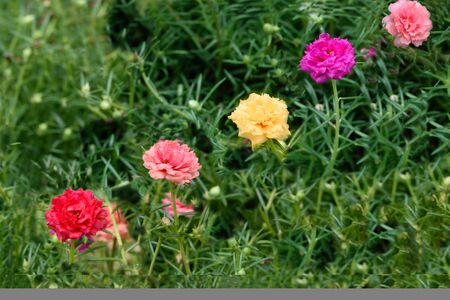 Vividly colored blooms of moss roses in shade of various colors.