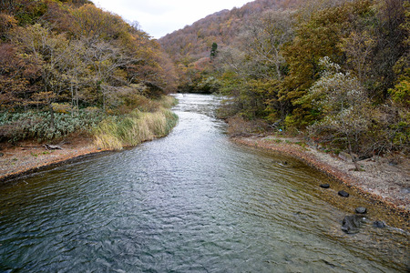 maple trees: The Oirase Mountain Stream flows from Lake Towada and runs through a forest of cedar , japanese beech and maple trees.