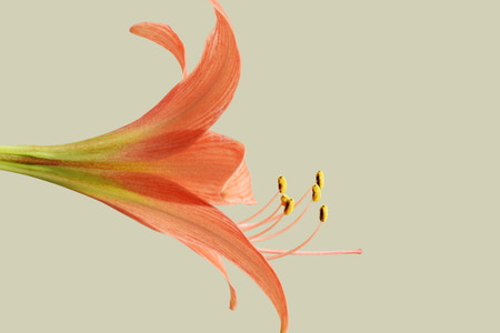 funnel shaped: A funnel - shaped  flower  of Amaryllis with each one has  three outer sepals and three inner petal and erected flower stem .