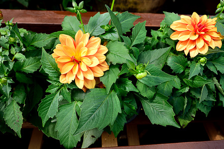 tuberous: Yellow flowers of bushy  ,tuberous plants.