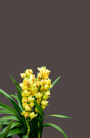 The highly decorative orchid flowers used especially as cut flowers or for corsages.