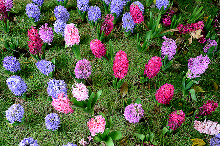 Hyacinths grow from bulbs and have flower clusters borne along the stalks. Stock Photo