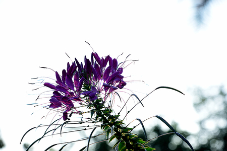 The spider-  liked flowers with long seedpods and  projecting stamens.