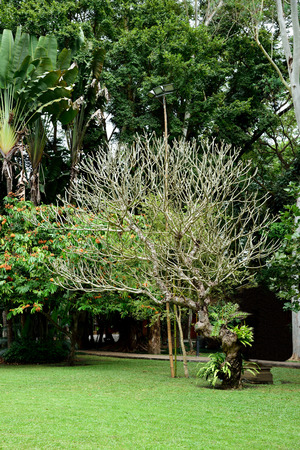 The deciduous period of plumeria allowing meximum winter sunight to the ground. Фото со стока