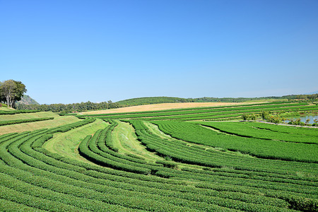 The scenery of green tea plantation in Chiangrai Province in the northern part of Thailand. Stock Photo