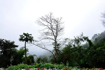 A standing deciduous tree in contrast with lush green forest and a  flower garden amid foggy weather in winter season.