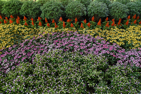 A garden of colorful flowering plants grown as an ornamental bands  on a lawn .