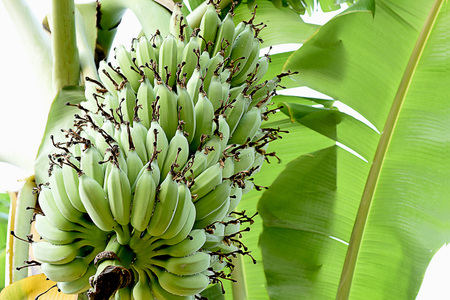 A  bunch of  banana  fruits  in 9 - 10 tiers hanging cluster. Stock Photo
