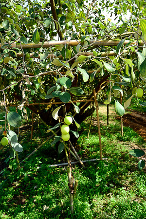 The plant that grown primarily as a shade tree and also bears edible fruits. Stock Photo
