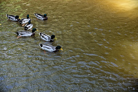 drakes: Mullard ducks enjoy swimming in the pool . The male have  glossy green head and grey wings while the female  have brown - speckled plumage.