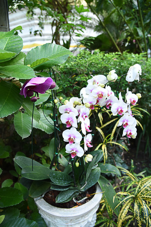 The orchid that has a single growing stem and the inflorescence appears from the stem between the leaves.