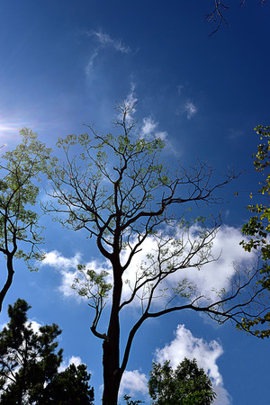 clearly: A silhouette of big tree against clearly  blue sky. Stock Photo