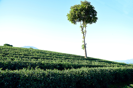 Green tea plantation along the hills and mountains  in Chiangrai Province , Thailand.