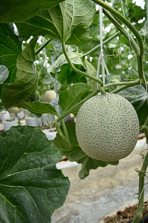 The sweet -  flavored fruits in cucumis melo species with net - liked skin covering.
