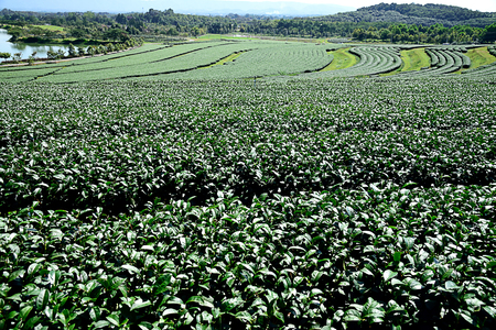 The scenery of green tea plantation in Chiangrai Province , Thailand.
