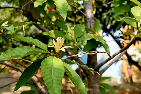 The tropical tree which has strongly fragrant flowers in shade of cream to yellow .