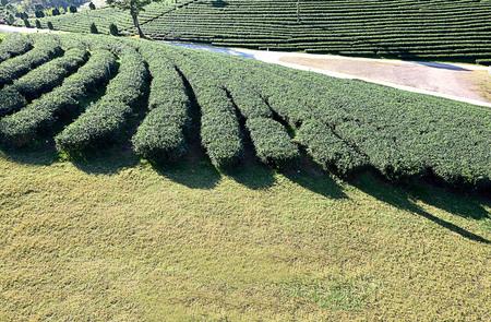 Green tea plantation in Chiangrai Province , Thailand.