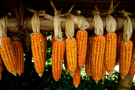 air dried: Corns are dried and dehydrated to preserve flavor , color and nutrition.