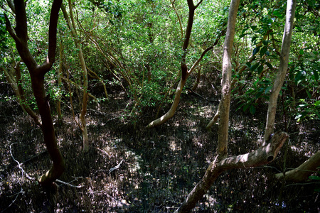 Small trees or shrubs that grow in coastal saline water or swamps in tropical tidal areas.