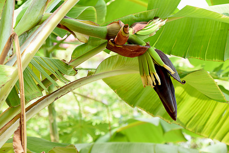 The teardrop - shaped purple flowers  at the end of the banana fruit cluster. They can be eaten raw or cooked in soups , stews ,and curries.