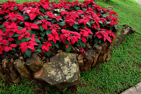 The small shrubs with red  bracts arranged in a group surrounded by pieces of wood.