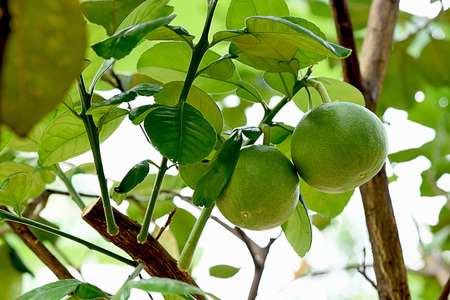 The citrus fruit that has green peel and sweet flavored flesh when ripe.