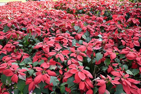 The small shrubs with red  bracts of poinsettia prepared for Christmas s Day.