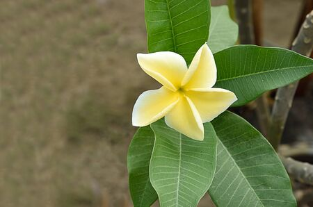 The five petals of plumeria flower in shade of yellow color with strong fragrance. Stock Photo