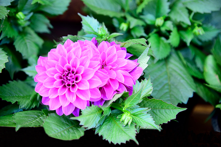 The brightly pink composite flowers that regard as the national flower of Mexico. Stock Photo