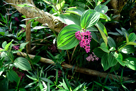 A small evergreen shrub with pink showy flowers .