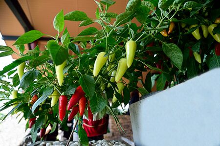 The fruit of plants in various colors and rich in capsaicin and other related chemicals.