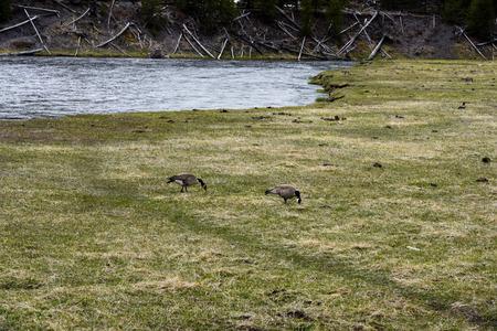 De onhandige, ongemakkelijke vogels wanneer ze op het land lopen, maar diep onder water kunnen zoeken om voedsel te zoeken. Stockfoto